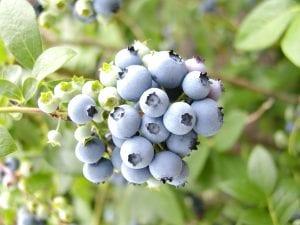 Ripe blueberries ready for harvesting.
