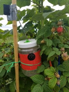 Picture of a Scentry trap for monitoring SWD that is set in a raspberry planting.