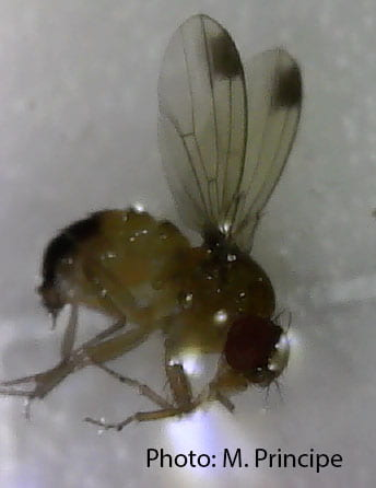A magnified photo of a male SWD showing the dark spot on each wing.