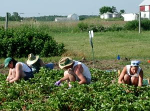 Picture showing a field crew harvesting strawberries.