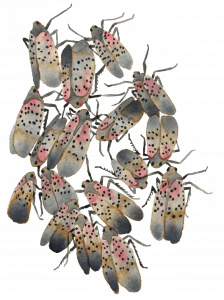Watercolor of spotted lanternfly adults by Karen English