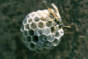 Paper wasp on new nest