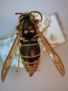 Although yellow jackets and a common paper wasp are similar in color and striping, their body shape differs significantly. Yellow jackets are 'sturdy'; paper wasps are thin-waisted and look delicate