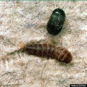 1233092 carpet beetle and larvae