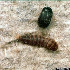 1233092 carpet beetle and larvae