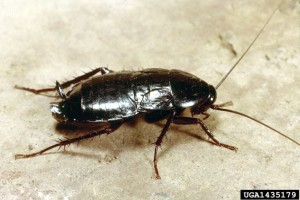 1435179 Oriental cockroach nymph