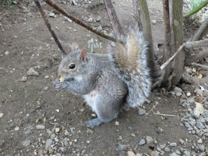 Identification matters. Grey squirrels are protected, while red squirrels are unprotected.