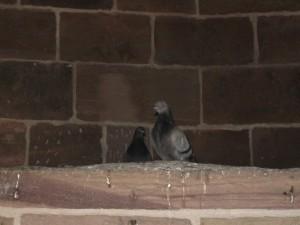 pigeons MF