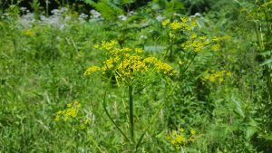 picture of yellow umbrella-like flower on a large green stalk