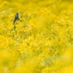bird_in_yellow_1308982.jpg