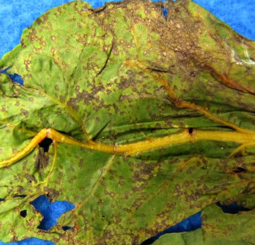 Cercospora leaf spot of Swiss chard