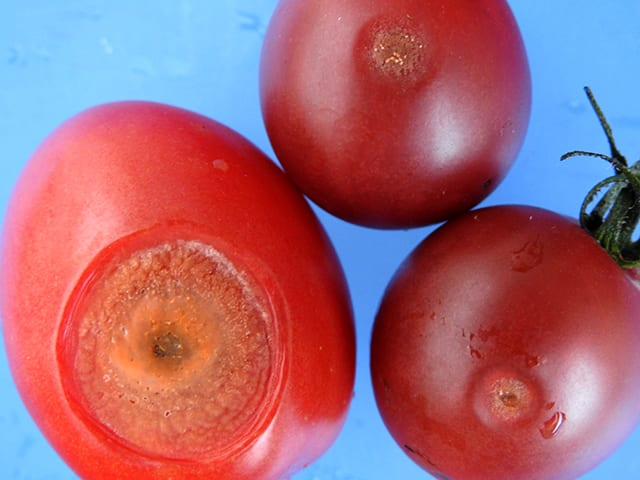 tomato anthracnose
