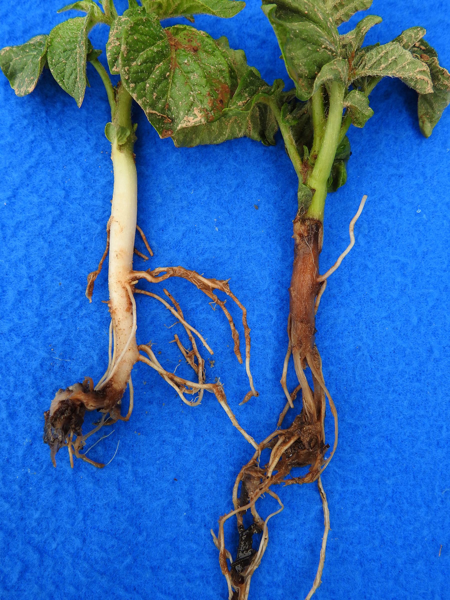 Black leg in tomato seedlings what to do 5 rules for the prevention of black leg 24