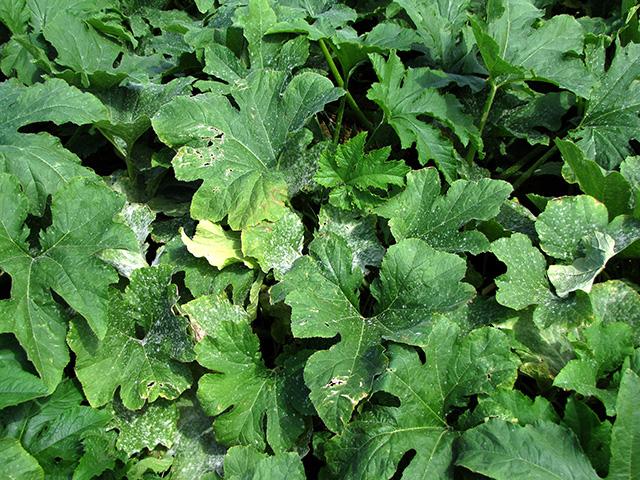 cucurbit-powdery-mildew-foliage1x640