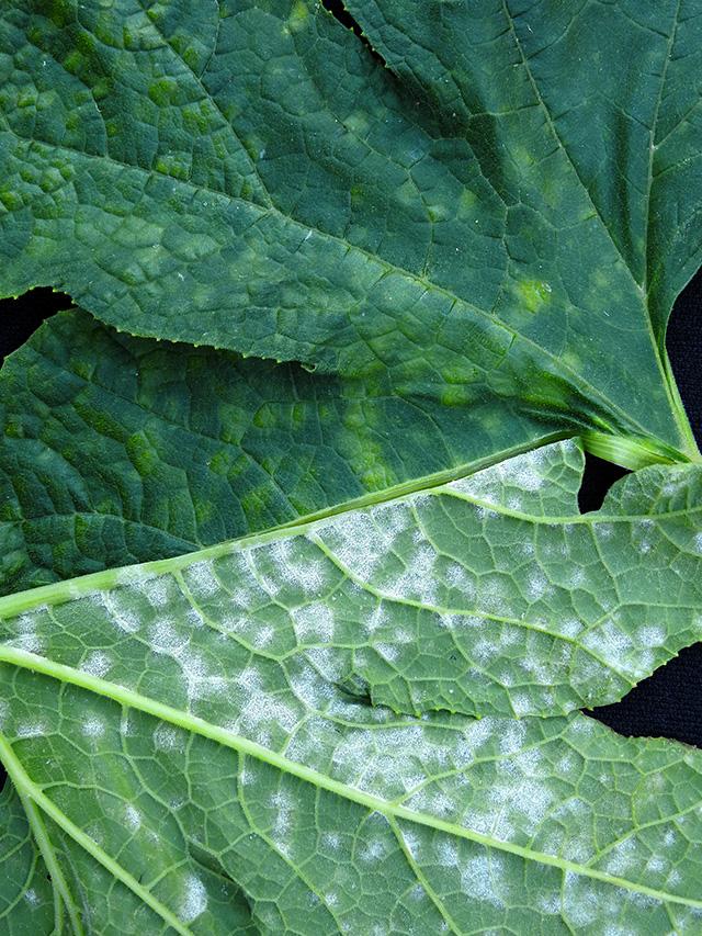 cucurbit-powdery-mildew-foliage3x640