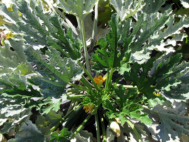 cucurbit-powdery-mildew-foliagex640