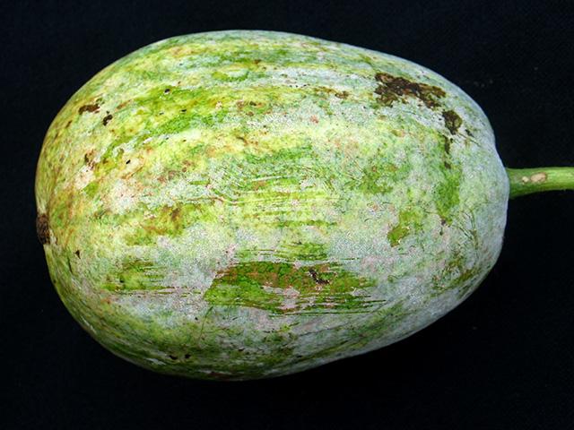cucurbit-powdery-mildew-fruitx640