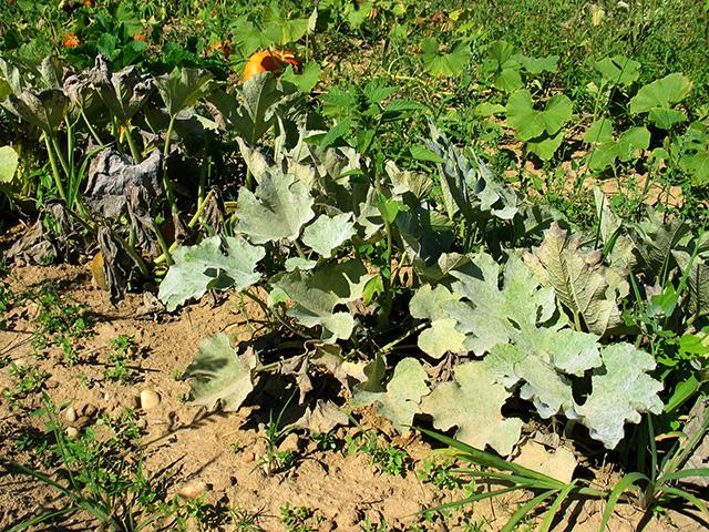 cucurbit-powdery-mildew-plantsx640
