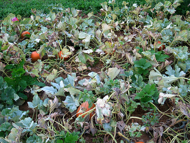 cucurbit-powdery-mildew-pumpkinsx640