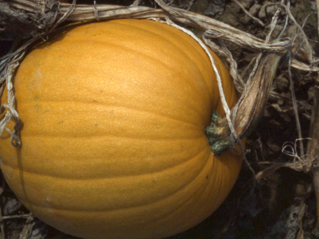 cucurbit-powdery-mildew-pumpkinx640