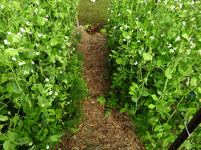 Peas and path later in the season.