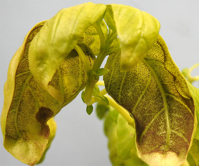 Basil downy mildew. Click image for larger view.