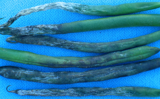 phytophthora-bean1x640