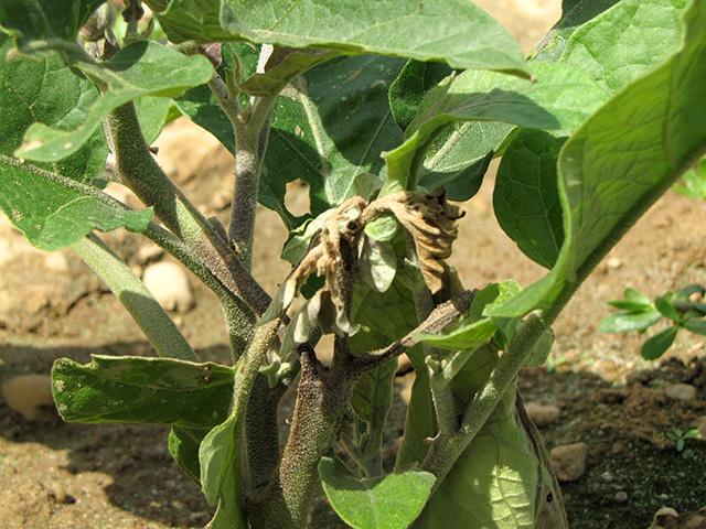phytophthora-eggplant2x640