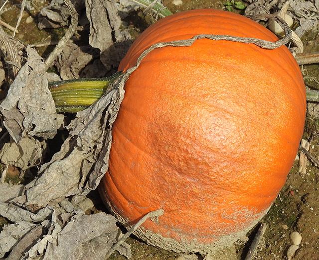 pumpkin-sunscald2x640