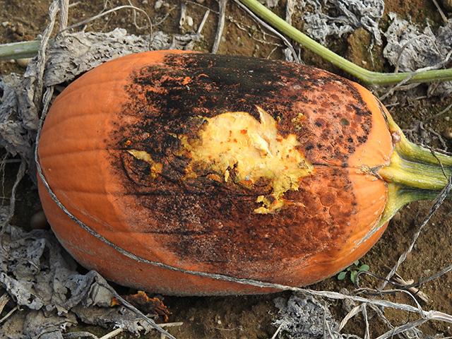 pumpkin-sunscald4x640