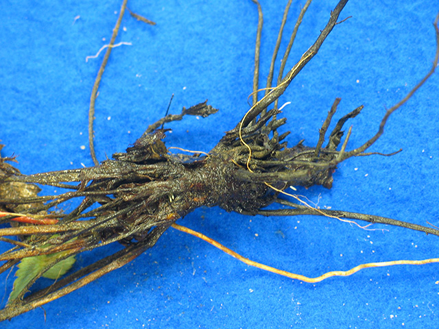 black-root-rot