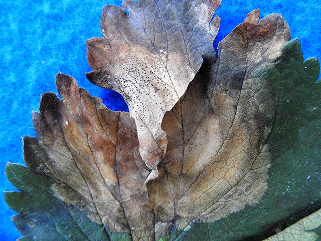 phomopsis-pycnidia