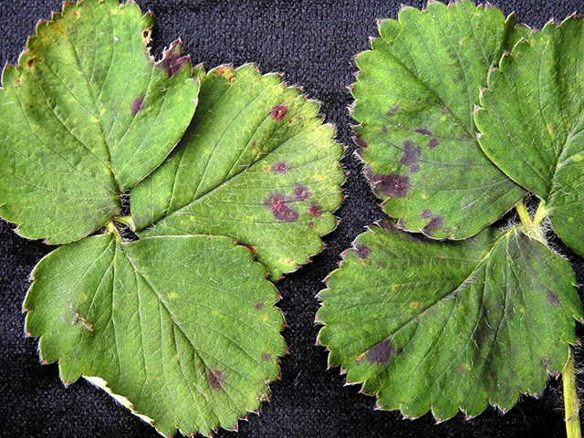 strawberry leaf spot