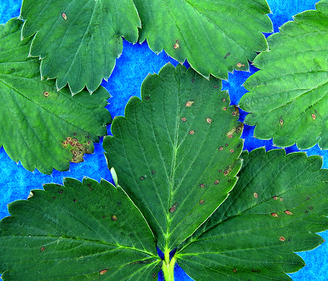 strawberry-leaf-spot