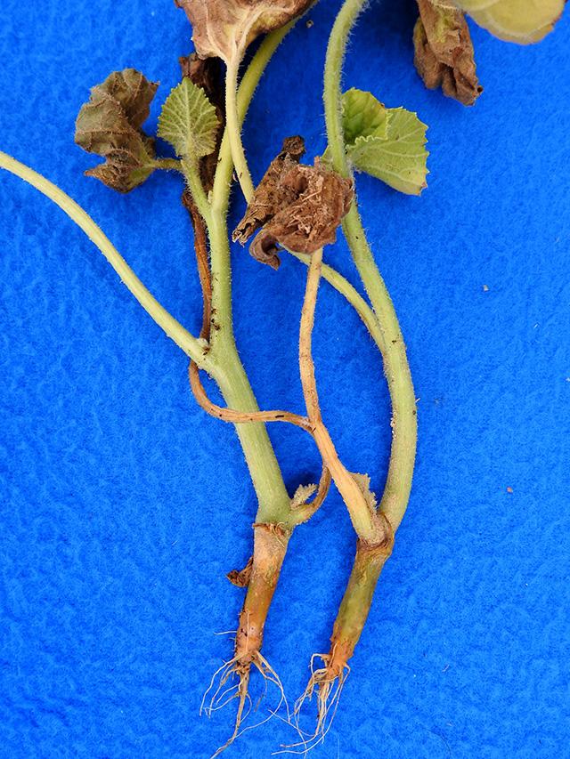 cucurbit pythium