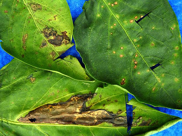 Bacterial leaf spot in pepper