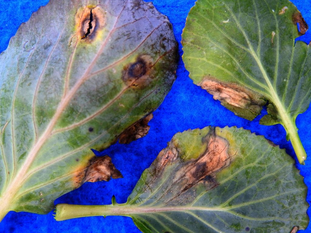alternaria on cabbage