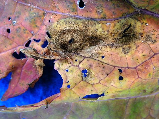 alternaria-leaf-spot-on-kale/