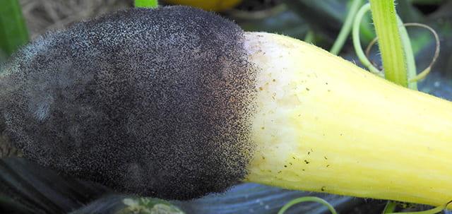 Choanephora fruit rot