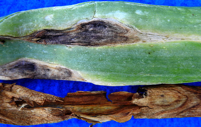 Stemphylium leaf blight in onion