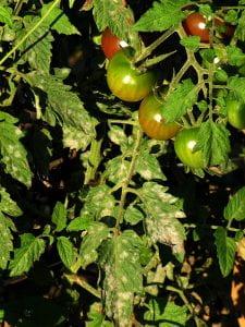 tomato powdery mildew