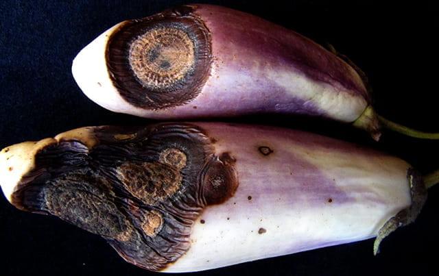 eggplant anthracnose