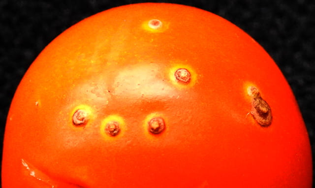 bacterial canker on tomato fruit