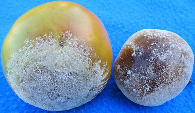 buckeye blight on tomato