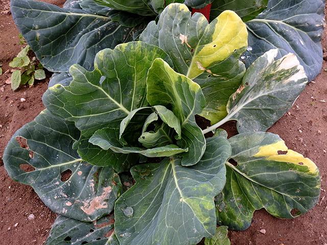 cabbage chimera