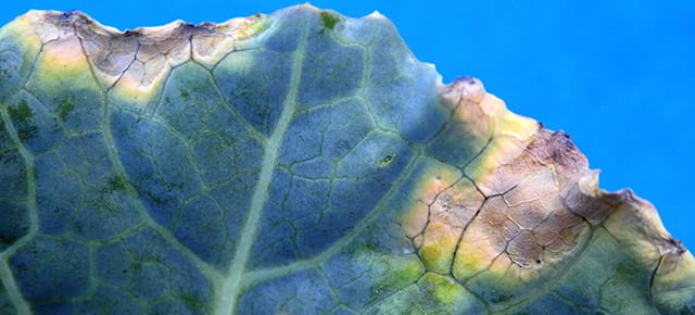black rot on ornamental cabbage