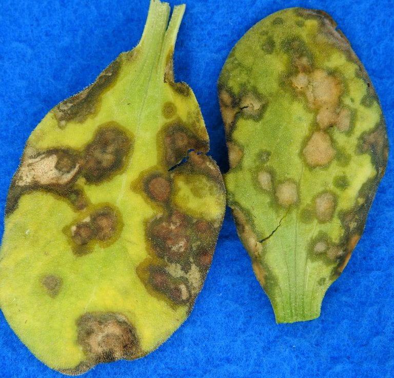 Angular leaf spot on cucurbit leaves