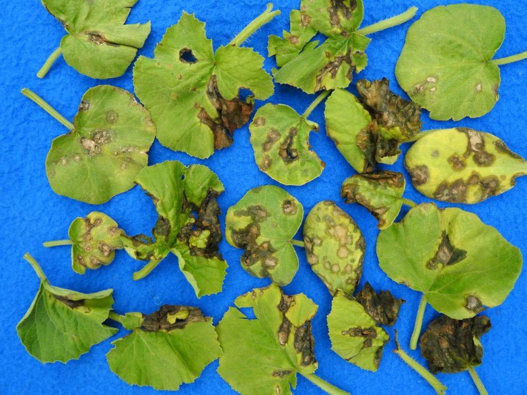 cucurbit angular leaf spot on seedlings