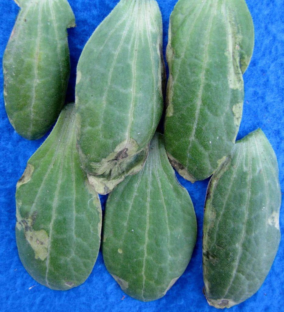 Angular leaf spot on zucchini seedlings