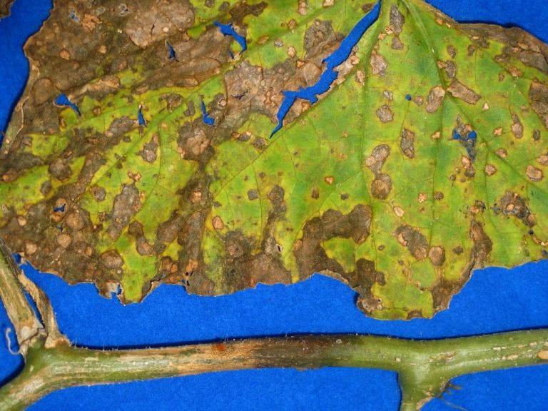 gummy stem blight on melon leaf and stem
